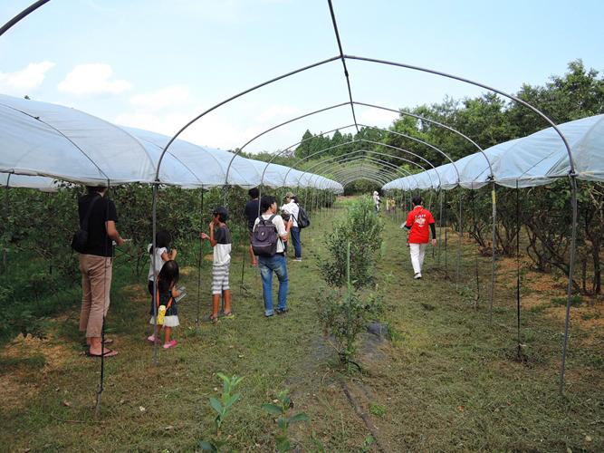 ブルーベリー収穫体験